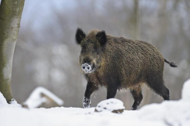Neues zur Afrikanischen Schweinepest (ASP)